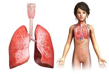 Child's lung anatomy, illustration