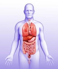 Male body organs, illustration
