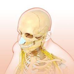 Male head and chest bones and nerves, illustration