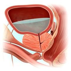 Male bladder anatomy, illustration