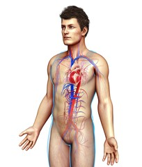 Male heart and blood vessels, illustration