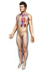 Male heart and kidneys, illustration