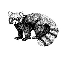 Red panda hand drawn image. Sketch style picture. Made with ink liner. Cute black and white animal.