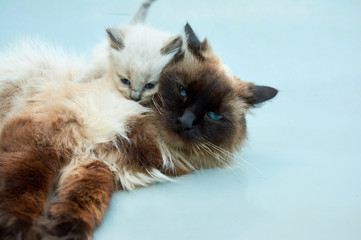 Balinese kitten plays with a Balinese cat on a gray background