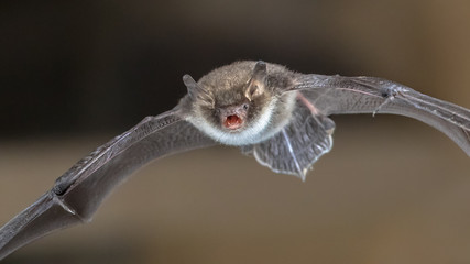 Natterers bat in flight