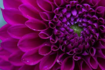 Purple Dahlia Macro