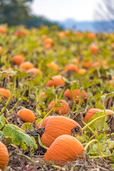 Abundant field of pumpkins ready for harvest and Halloween