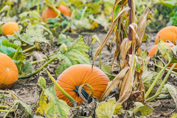 Round pumpkin growing on vine in pumpkin patch field beside corn stalk