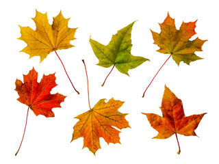 Colorful Maple Leaves Isolated On White Background