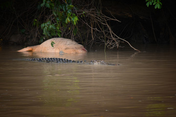 Scary image of a big wild salt water predator crocodile eating a large cow it caught in dirty murky water of Adelaide River in Australia, Northern Territory near darwin