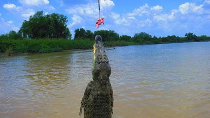Jumping adult saltwater crocodile being teased with pork - wild in Adelaide River, near Darwin in the Northern Territory Australia - crazy dangerous australian rivers in the outback