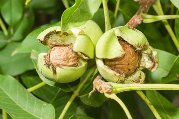Walnuts inside their cracked green husks on tree