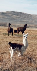 young llama standing on the field