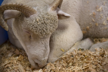Isolated Portrait View of  White Sheared Ram Sleeping on Sawdust