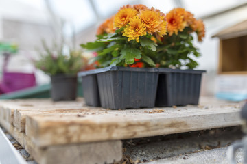 Dwarf yellow and orange chrysanthemum flowers growing on wooden base in a traditional English potting shed or green house shot from a below angle