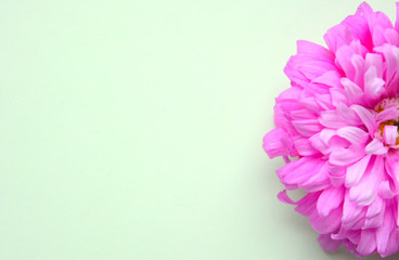Beautiful autumn pastel composition. pink terry aster on a mint background..Floral background.Flat.Mock up.