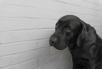 Labrador against white wall background, dog