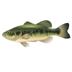Bass Fish On A White Background. Vector illustration