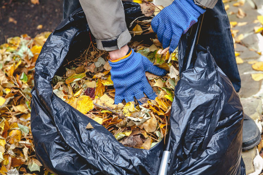 Hands lay fallen leaves in large bag