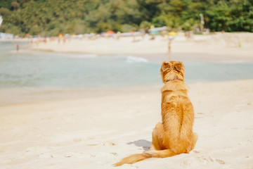 red dog sitting on the beach tourist island, turn their backs to the other bank with people and waiting, pensive.