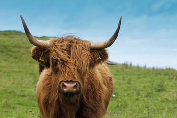 Scottish cow in green grass
