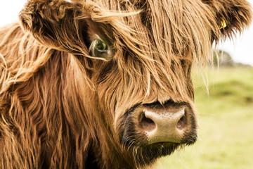 Scottish cow face