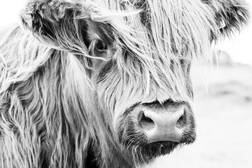 Spoed Foto op Canvas Koe Scottish cow face