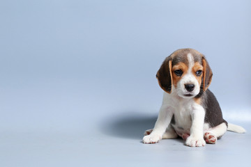 1 month pure breed beagle Puppy on gray screen