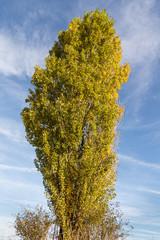 Chopo del país, álamo negro. Populus nigra.