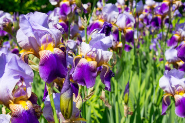 Purple and Yellow Iris Flowers