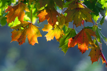 MAPLE - Colorful leaves in the sun