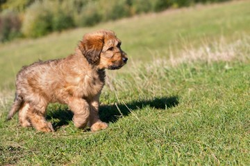 Small puppy briard on meadow.