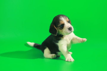 1 month pure breed beagle Puppy on green screen
