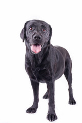 labrador retriever in front of white background studio isolated