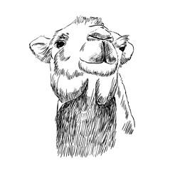 sketch of head camel on a white background