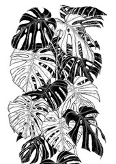 Monstera leaf sketch by hand drawing.Monstera vector set on white background.Vector leaves art highly detailed in line art style.Monstera is plant of tropical.Leaf for paint to pattern or wallpaper