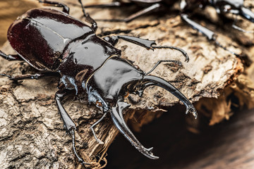 Male stag beetle on the wooden background.
