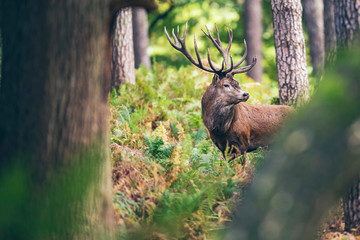 Photo sur Aluminium Cerf Red deer stag between ferns in autumn forest.