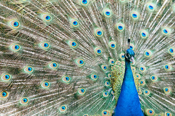 Beautiful male peacock with feathers on display during courtship