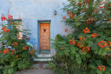 Dwarf poinciana against blue wall in the Barrio Viejo neighborhood of Tucson, Arizona