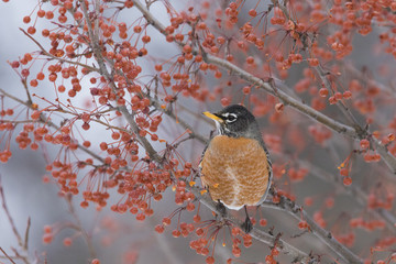 American Robin in winter