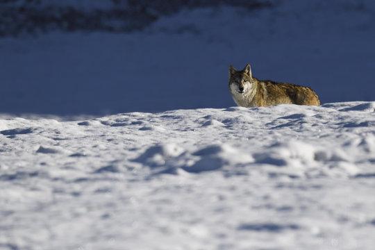 Tibetan wolf in snow landscape