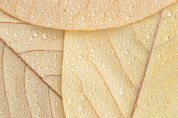 Wet Magnolia leaf trio, closeup