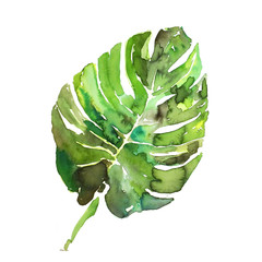 Watercolor monstera leaf hand made illustration