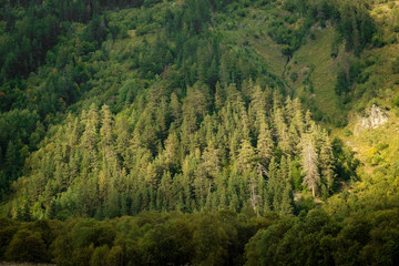 background a coniferous forest on a mountain slope lit by the sun