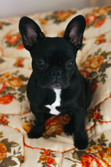 Cute french bulldog on the blancket