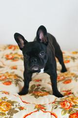 Cute french bulldog on the blancket