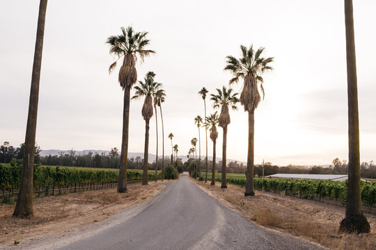 california drive way lined with palm trees