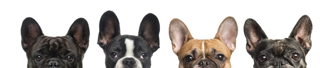 Poster Franse bulldog Close-up of upper heads of dogs, isolated on white