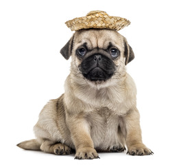 Pug puppy with a hat, isolated on white